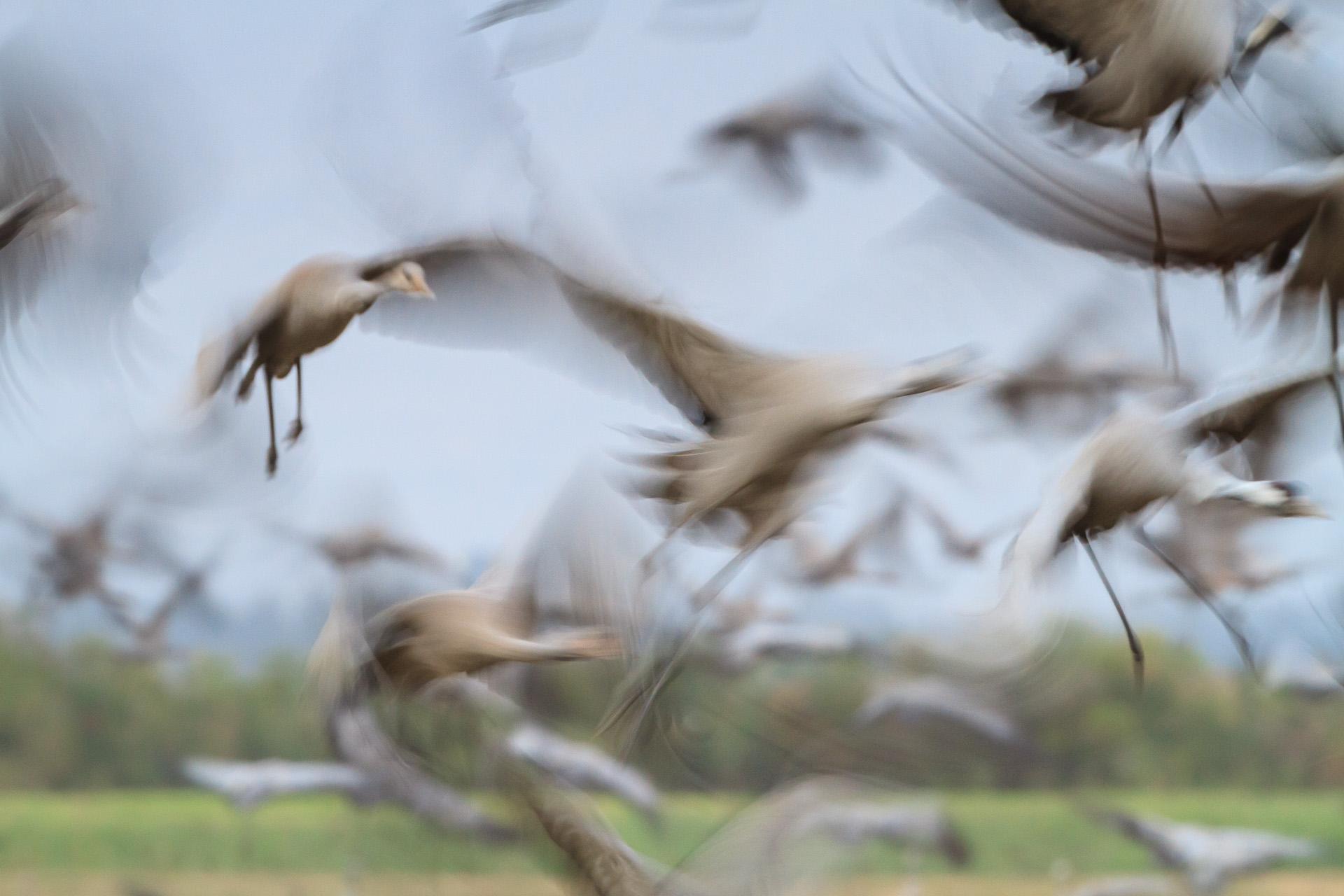 Common cranes (grus grus) flock taking fligh. Agamon Hula. Hula Valley. Israel.